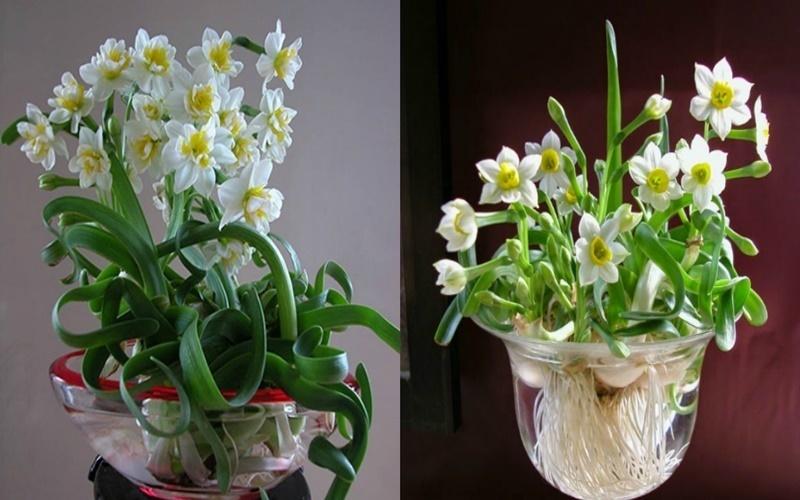 Hoa thủy tiên có nhiều kiểu dáng độc đáo