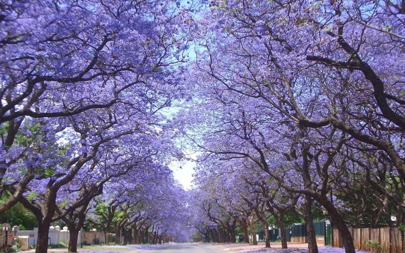 Mùa hoa phượng tím thanh bình ở Đà Lạt