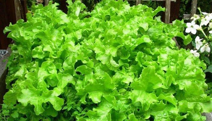 Rau salad sẽ mất độ tươi xanh khi cho vào tủ đông