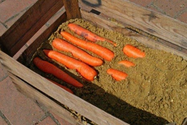 Cát sẽ giúp cà rốt giữ được hương vị hơn là bỏ chúng vào màng xốp rồi đặt trong tủ lạnh