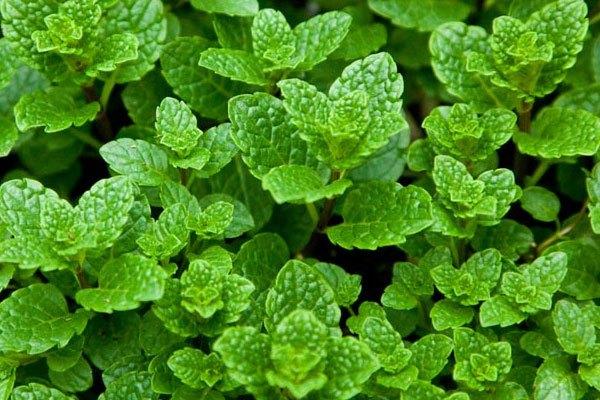 Muốn bảo quản rau thơm trong 4-5 ngày, thậm chí cả tuần, bạn cần làm sạch, để ráo, rồi trộn chúng với dầu ô liu và bỏ vào khay đá viên để trong ngăn đá tủ lạnh.