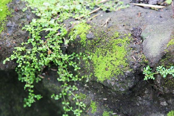Bước 1:Đầu tiên, bạn cần 3 chén rêu xanh. Rêu mọc ở nhiều nơi, bạn có thể tìm chúng ở các nền gạch, xi măng, tảng đá và các bờ tường ẩm ướt...