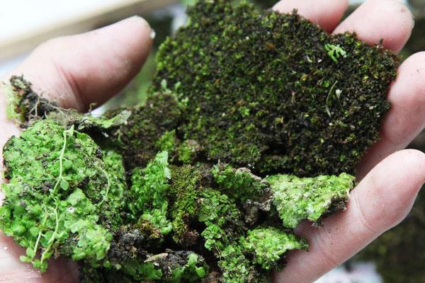 Bước 2: Rửa sạch đất cát bám trên rêu. Lưu ý: Bạn rửa càng sạch càng tốt.