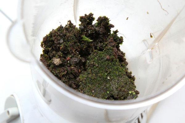 Bước 3: Cho rêu vào máy xay sinh tố.