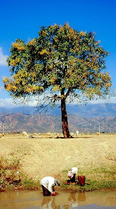 Hãy dùng Panorama trên điện thoại iPhone để chụp các cây cao