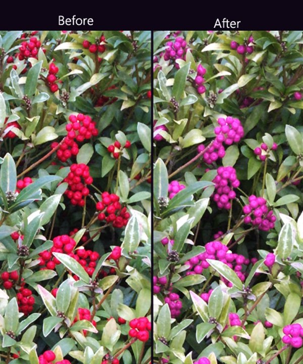 Bông hoa được chèn ứng dụng trên điện thoại giúp người mù màu dễ dàng nhìn hơn