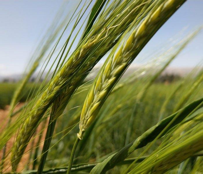 Hình ảnh cây lúa được chụp bằng camera sau của điện thoại HTC U11